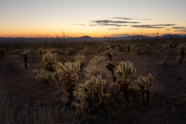 This is the picture of jumping cholla during sunset at saguaro national park, arizona, usa. Premium Photo