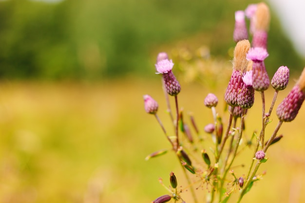 Thistle blossom in the meadow. purple or pink flowers with white fluff on a branch. Premium Photo