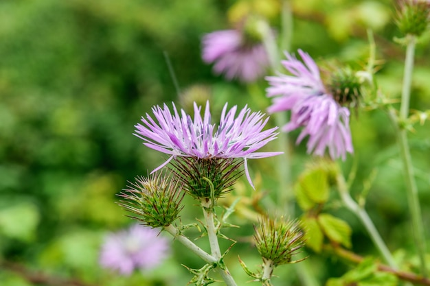 Thistle prickly flower on the green natural background closeup . springtime, blooming nature concept. Premium Photo