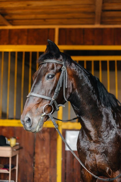 Thoroughbred stallion close-up in the stable at the ranch. animal husbandry and breeding of thoroughbred horses. Premium Photo