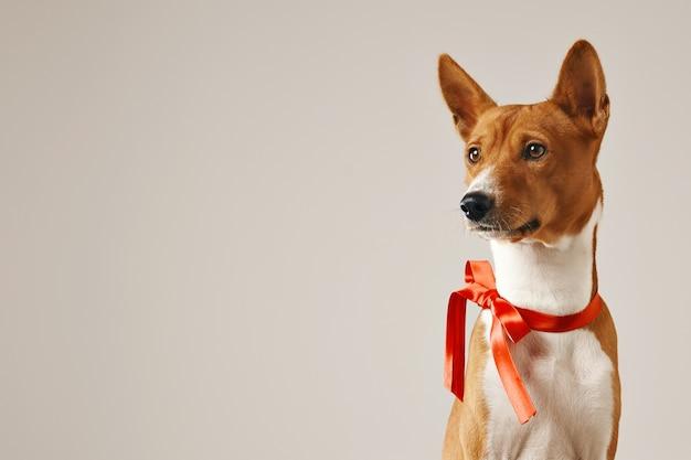 Cane attento premuroso che indossa un fiocco rosso, vicino colpo isolato su bianco Foto Gratuite