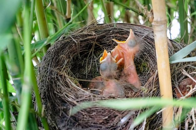 Три птенца черных птиц, открывающие пасть в гнезде Бесплатные Фотографии