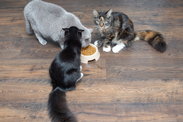 Three beautiful large domestic thoroughbred cats eat dry food from a bowl. Premium Photo