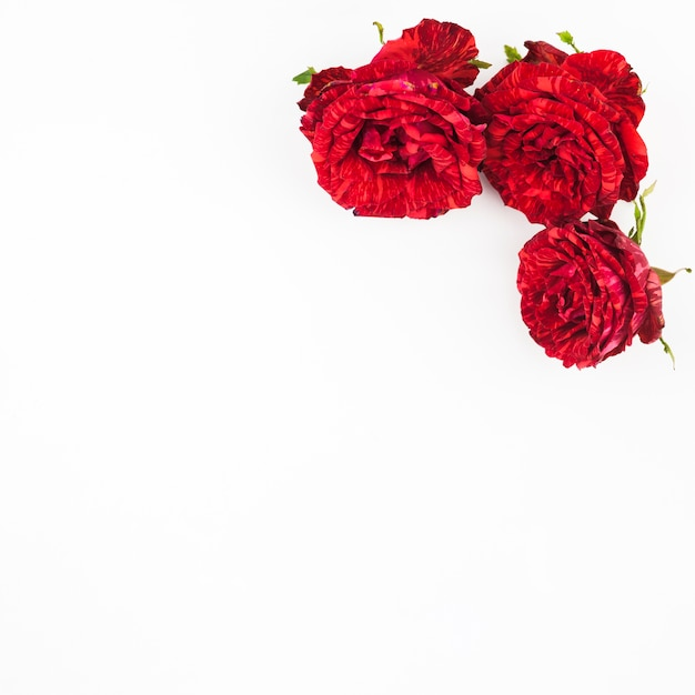 three beautiful red roses on white background photo free