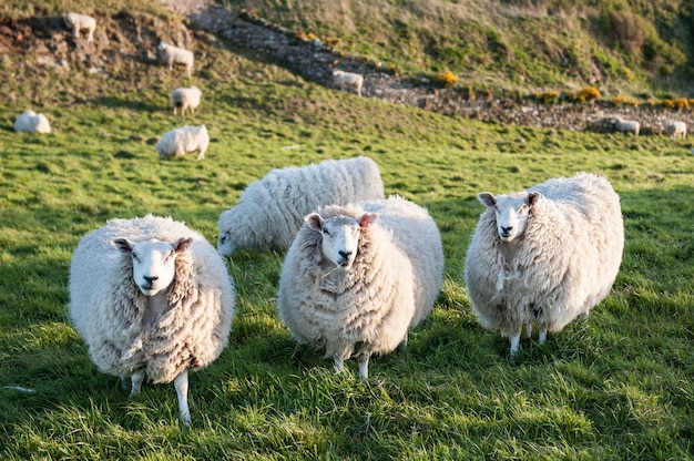 Three beautiful white sheep stand on the green grass. Premium Photo