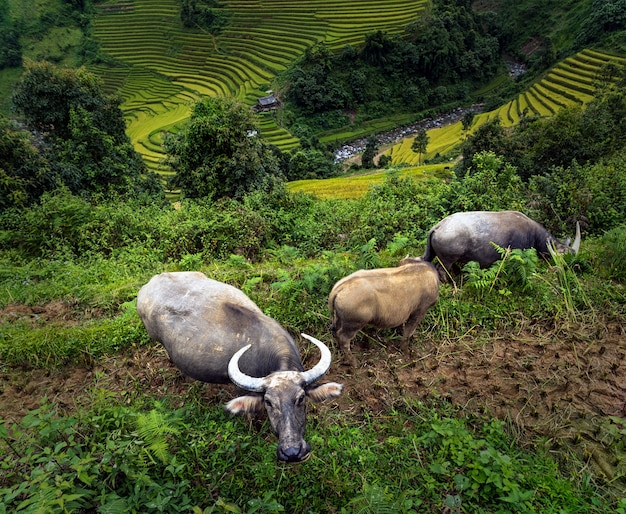 Three buffalo at the rice fields on terraced Premium Photo