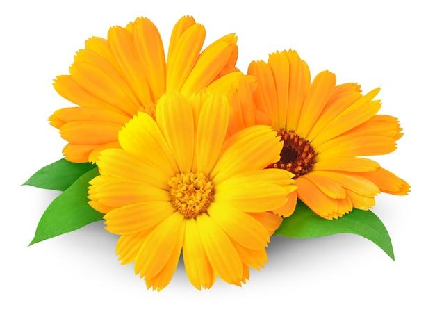 Три цветка календулы (календулы), изолированные на белом пространстве Premium Фотографии