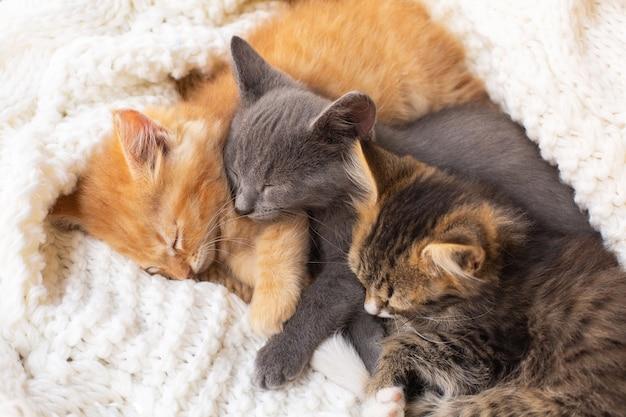 Три милых полосатых котенка спят и обнимаются на белом вязаном шарфе. домашнее животное. Premium Фотографии