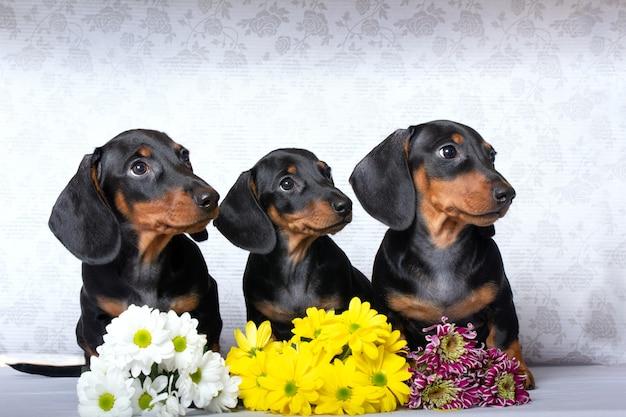 dachshunds z montażą