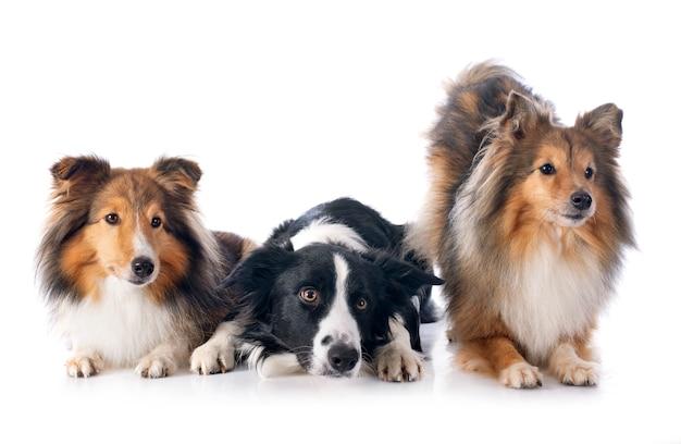 Three dogs in studio Premium Photo