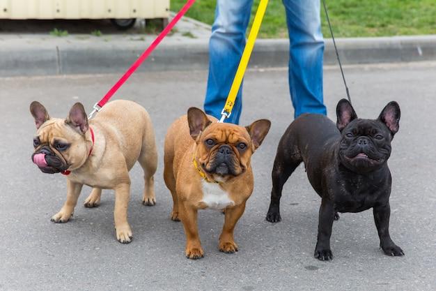Три домашних собаки породы французский бульдог Premium Фотографии