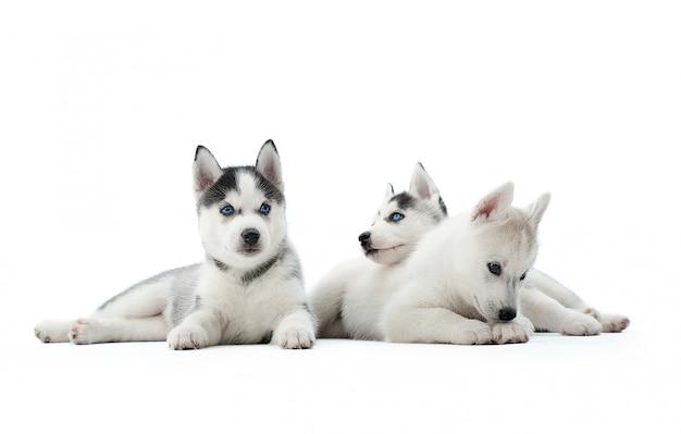 Три забавных щенка сибирской хаски, сидя на полу, интересно играть, глядя в сторону, ожидая еды. породные собаки похожи на волков с серо-белым окрасом меха и голубыми глазами. Бесплатные Фотографии
