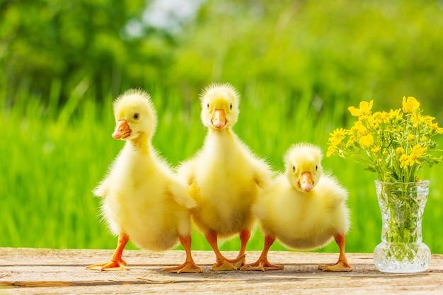 Three little fluffy yellow gosling on nature background Premium Photo