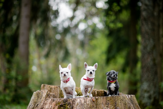 Three lovely and cute chihuahua puppies sitting at old tree in forest Premium Photo