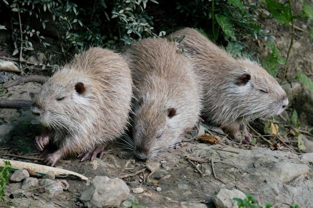 Три нутрия ищут пищу на раковине пруда Premium Фотографии