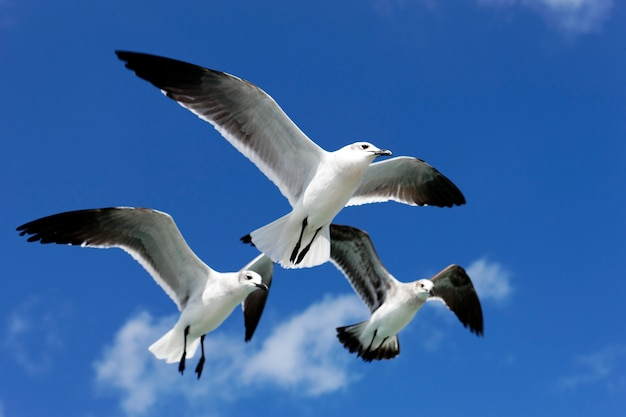 Three seagulls flying in blue sky in mexico Free Photo