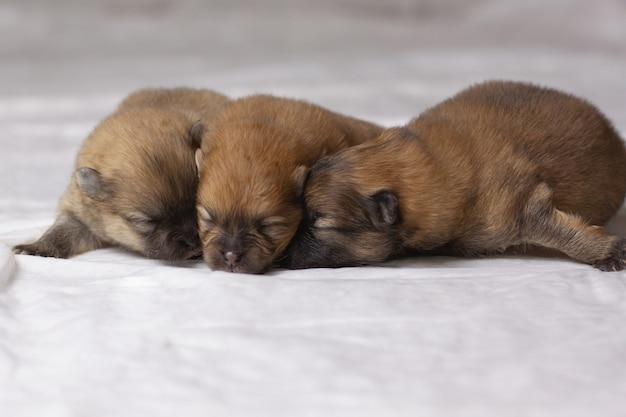 눈을 감은 작은 주황색 포메라니안 강아지 세 마리가 코를 코에 눕습니다. 프리미엄 사진