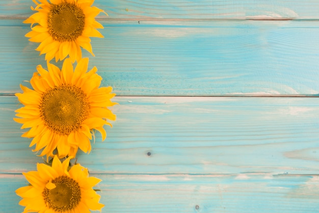 Three sunflowers on blue wooden background Free Photo