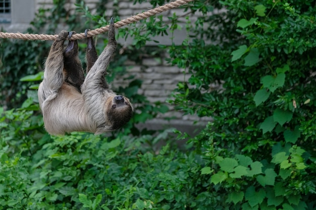 Трехпалый ленивец, висящий на веревке в окружении зелени в лесу Бесплатные Фотографии