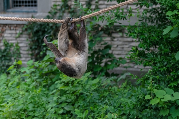 Three-toed sloth hanging on a rope surrounded by greenery in a forest Free Photo