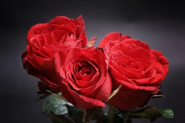 Three Very Beautiful Red Rose Flowers Photo Premium Download