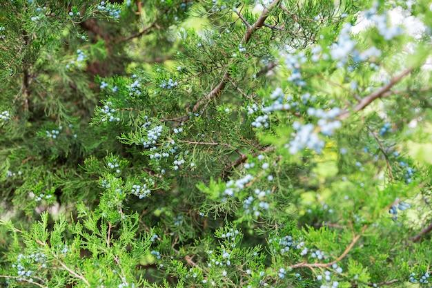 グリーンthujaまたはジュニパーの木の枝wis果実の背景をクローズアップ Premium写真
