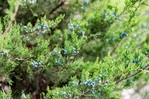 果実とジュニパー。 thuja常緑針葉樹の木をクローズアップ Premium写真