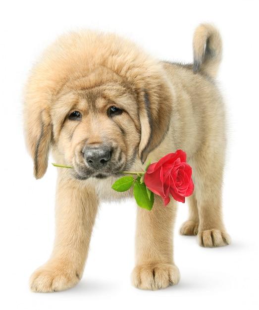 Щенок тибетского мастифа с красной розой во рту на белом фоне Premium Фотографии