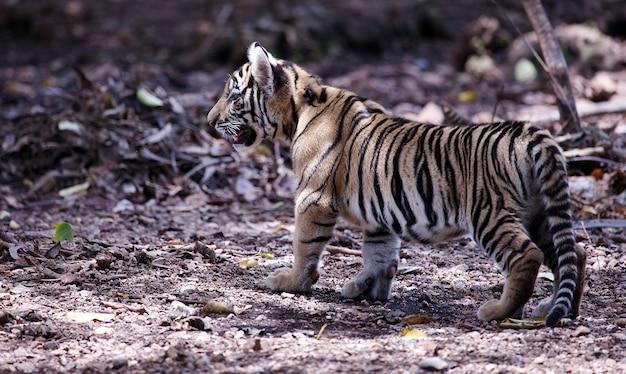 Tiger cub Free Photo