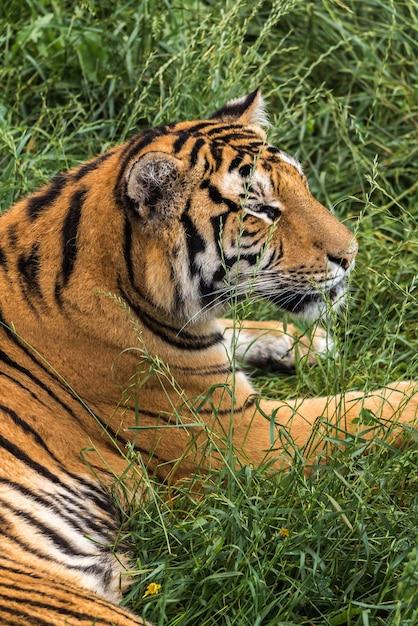 Tiger on the green grass Premium Photo