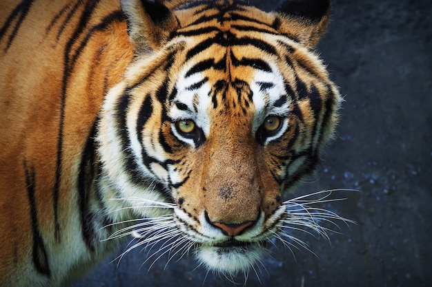 Tiger looking straight ahead Free Photo