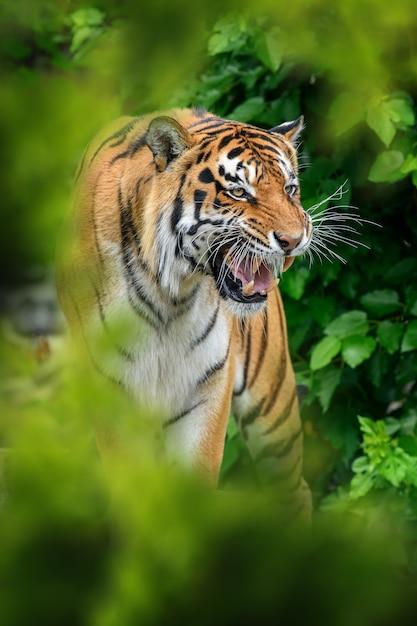 Tiger nell'habitat naturale, nascosto nella foresta Foto Gratuite