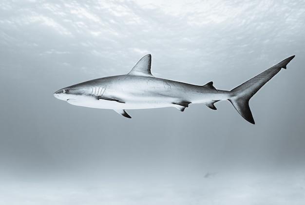 日中は海で泳ぐイタチザメ 無料写真