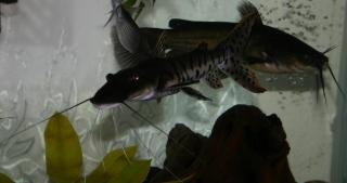 Tiger shovelnose catfish with a bullhead Free Photo