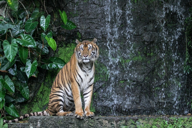 Tiger show tongue walking in front of mini waterfall Premium Photo