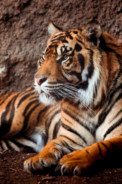 虎 Premium写真