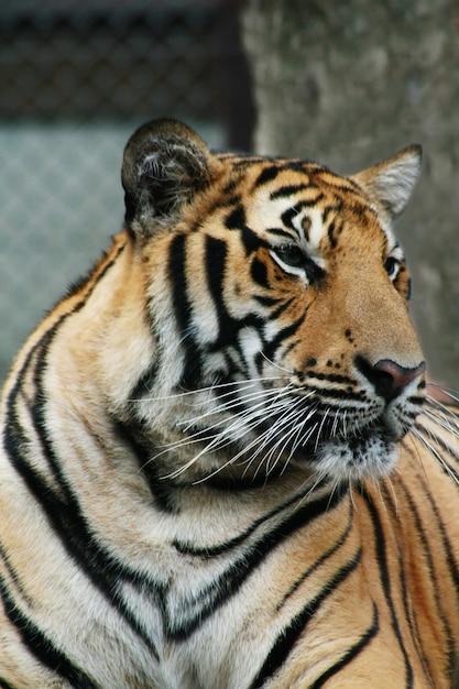 Tiger Premium Photo