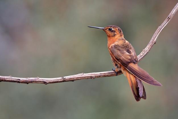 枝に休んで小さなハチドリ Premium写真