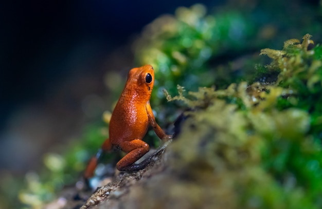 Tiny posioned red frog on a wet rock forest Premium Photo