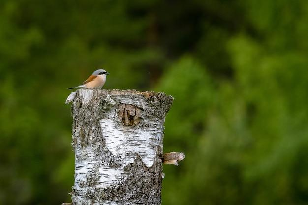 햇빛 아래 잘라 나무에 서있는 작은 붉은 등받이 까치 무료 사진