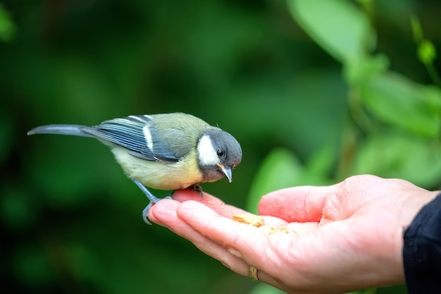 Tit eating from the hand Premium Photo