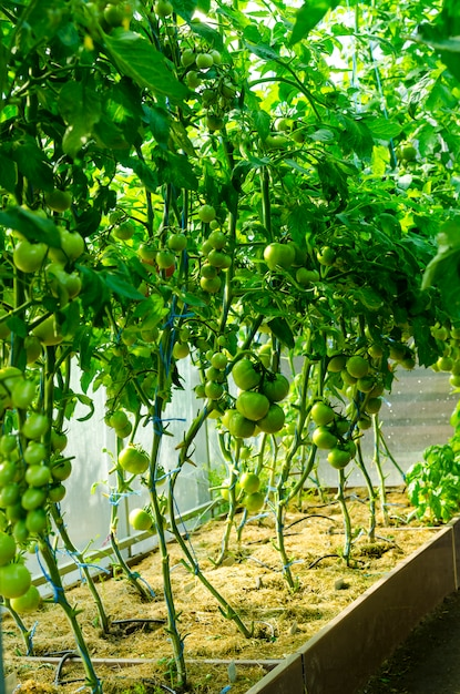 Tomato bushes with green fruits in greenhouse. Premium Photo