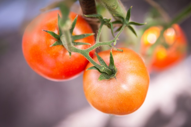 Tomato growing in organic farm, ripe natural tomatoes growing on a branch in greenhouse Premium Photo