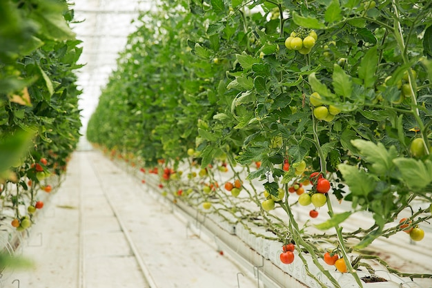 Tomato plants growing inside a greenhouse with white narrow roads and with colofrul harvest. Free Photo