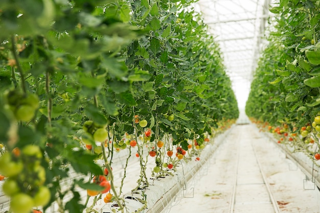 Tomato plants growing inside a greenhouse. Free Photo