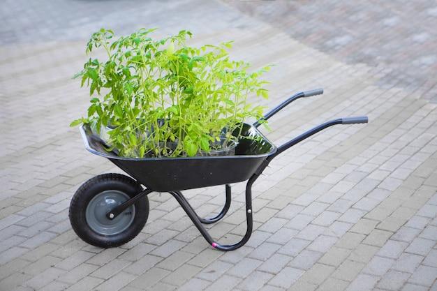 Саженцы помидоров в тачке. домашнее растение. весеннюю посадку проводит садовник. Premium Фотографии