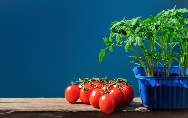 Tomato seedlings in pot and ripe tomatoes Free Photo