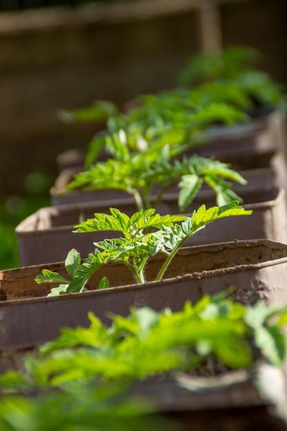 Tomato seedlings in soil Premium Photo