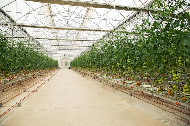 温室内のトマト植物。 無料写真