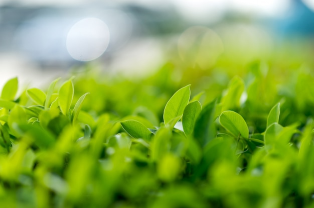 Top green tea leaves of soft tea leaves nature travel ideas Premium Photo